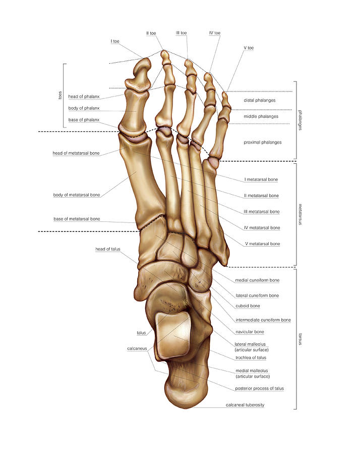 Bones Of The Foot Photograph By Asklepios Medical Atlas