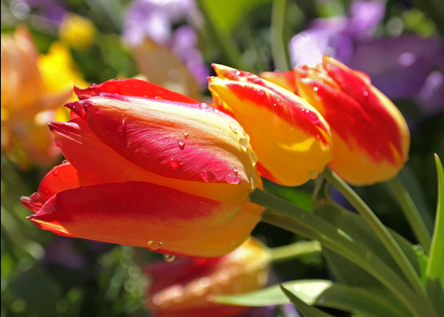 Tulip Photograph - Bowing Tulips by Rona Black