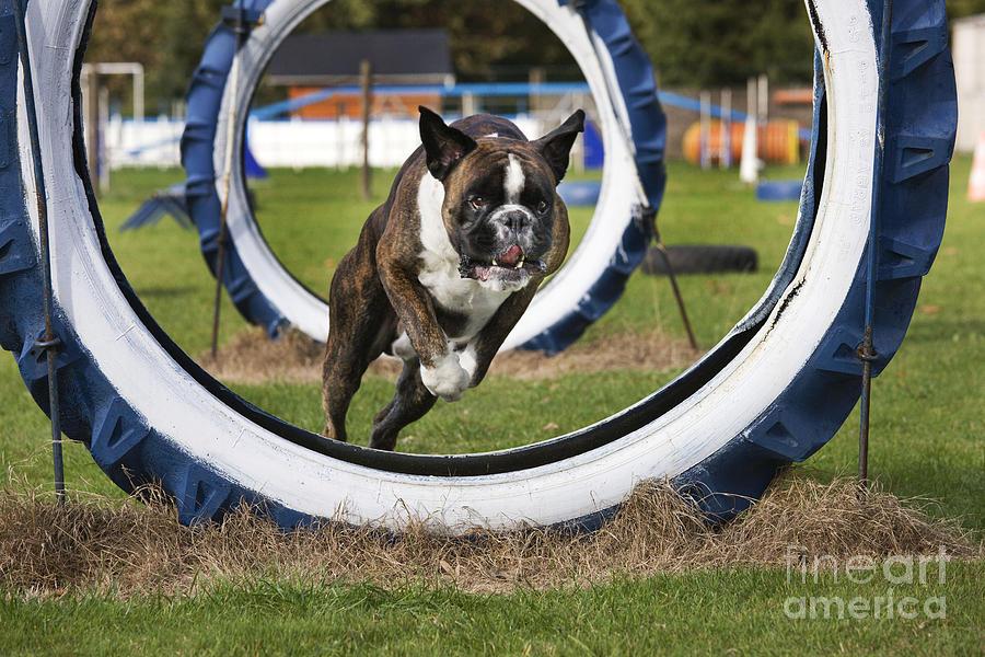 Boxer Photograph - Boxer Dog by Johan De Meester