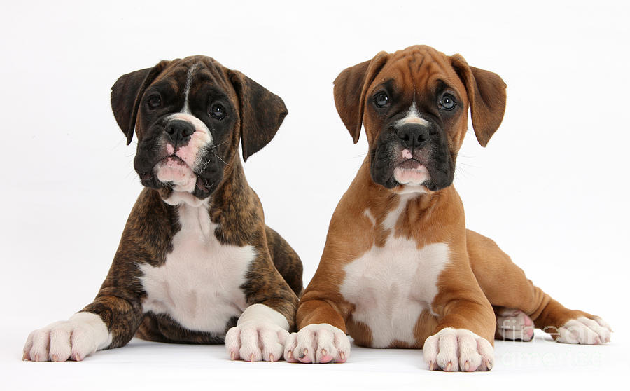 Nature Photograph - Boxer Puppies by Mark Taylor