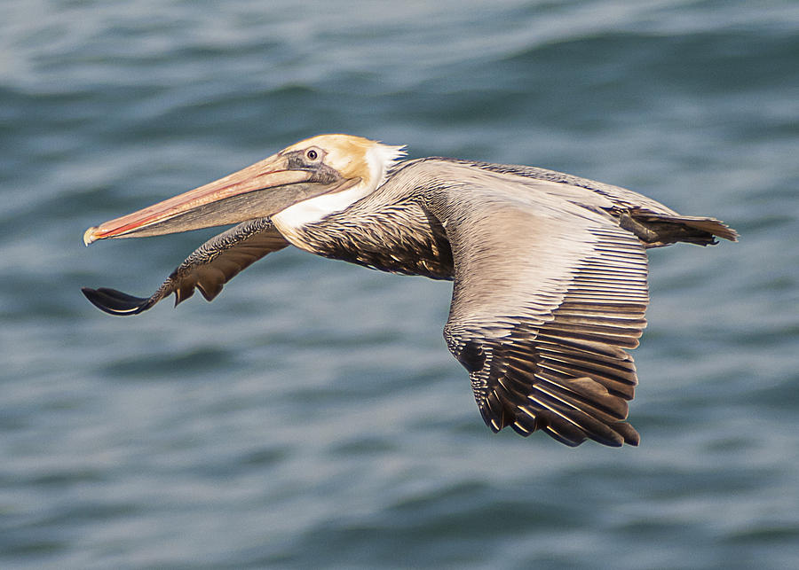 Brown Pelican Flying 2 by Lee Kirchhevel