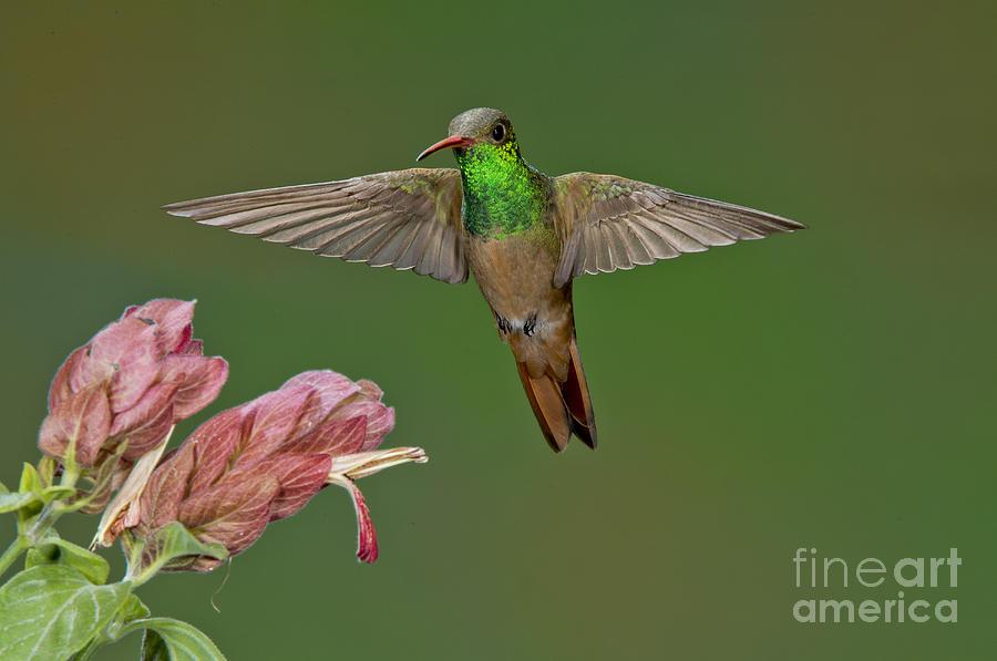 Bird Photograph - Buff-bellied Hummingbird by Anthony Mercieca