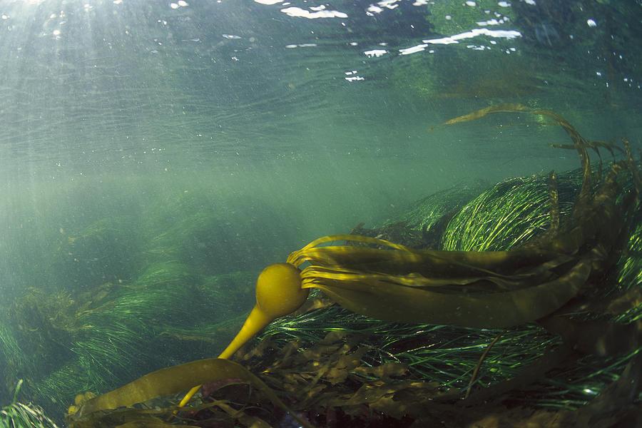 Bull Kelp Underwater Clayoquot Sound Photograph by Flip Nicklin