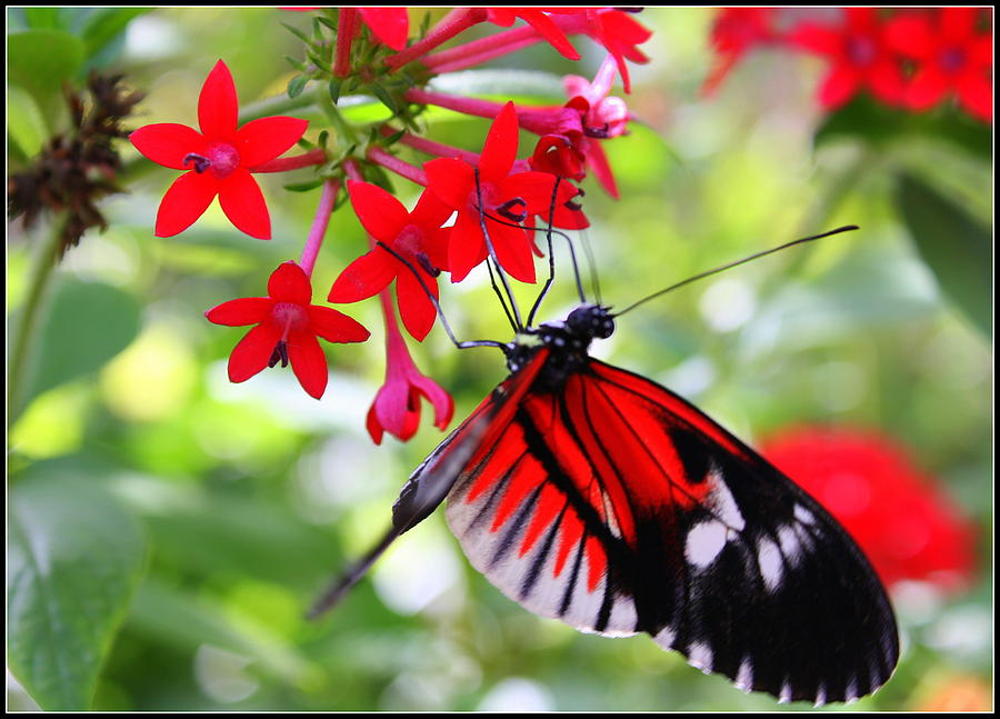 Butterfly Photograph - Butterfly On Red Bush by Dora Sofia Caputo Photographic Design and Fine Art