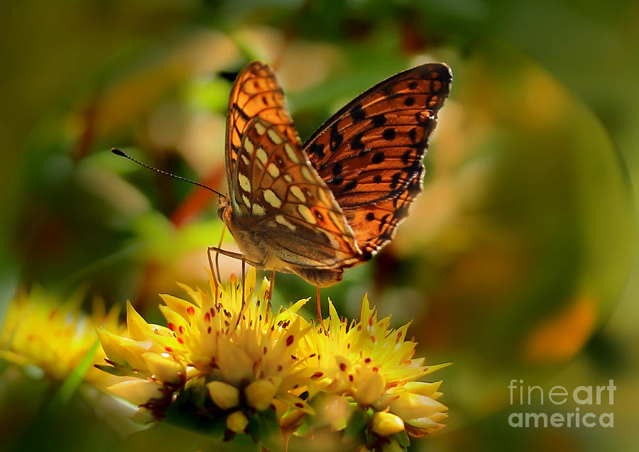 Butterfly Photograph - Butterfly by Sylvia  Niklasson