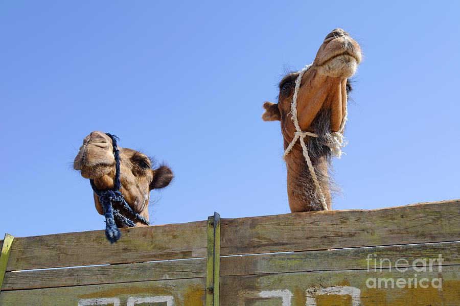 Camel Photograph - Camels At The Ashgabat Sunday Market In Turkmenistan by Robert Preston