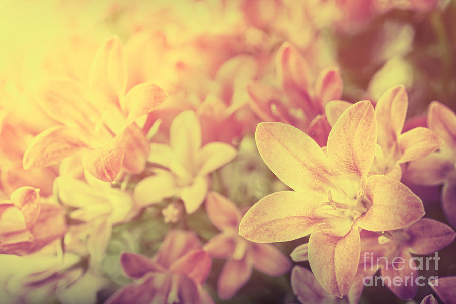 Abstract Photograph - Campanula Floral Background by Mythja  Photography