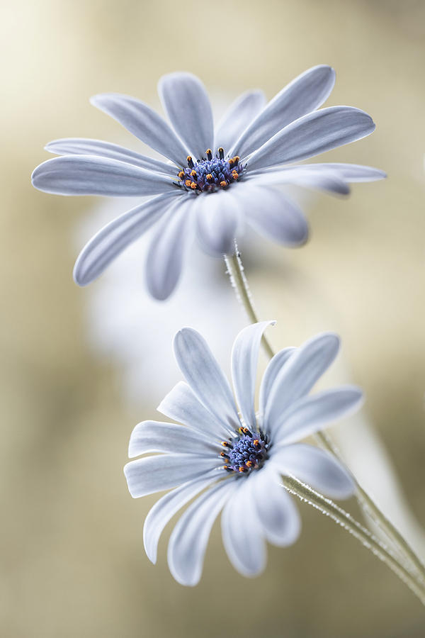Flowers Photograph - Cape Daisies by Mandy Disher