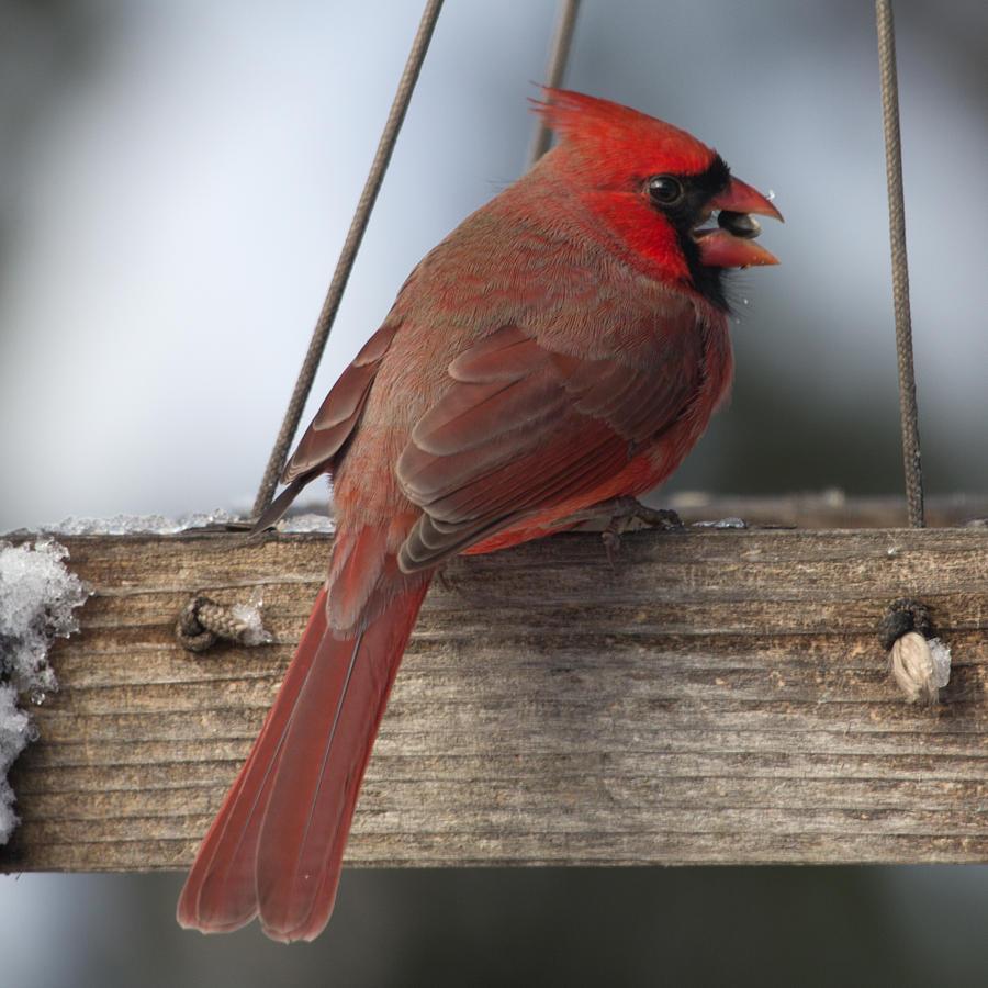 Cardinal Photos Photograph - Cardinal by John Kunze