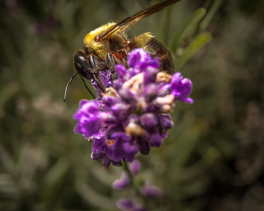 Flower Photograph - Carpenter Bee On A Lavender Spike by Ron Pate