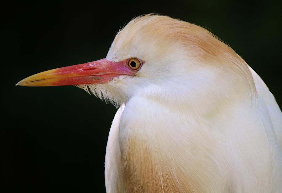 Bird Photograph - Cattle Egret by Paulette Thomas