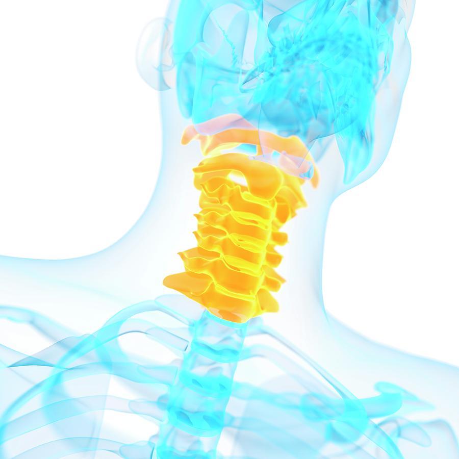 Artwork Photograph - Cervical Spine by Sebastian Kaulitzki