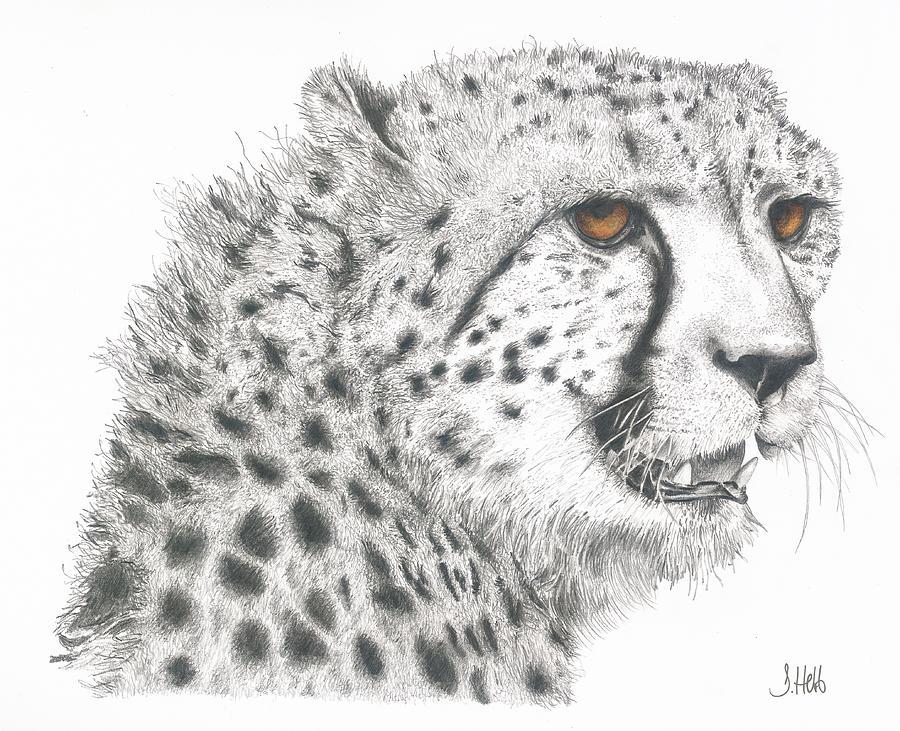 Cheetah Face Drawing - Cheetah Glory by John Hebb