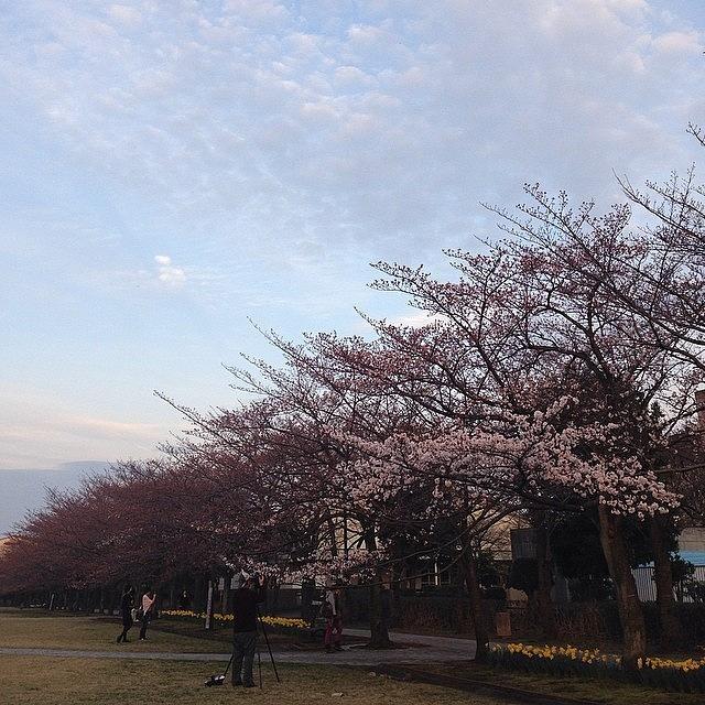 Cherryblossoms Photograph by Tokyo Sanpopo