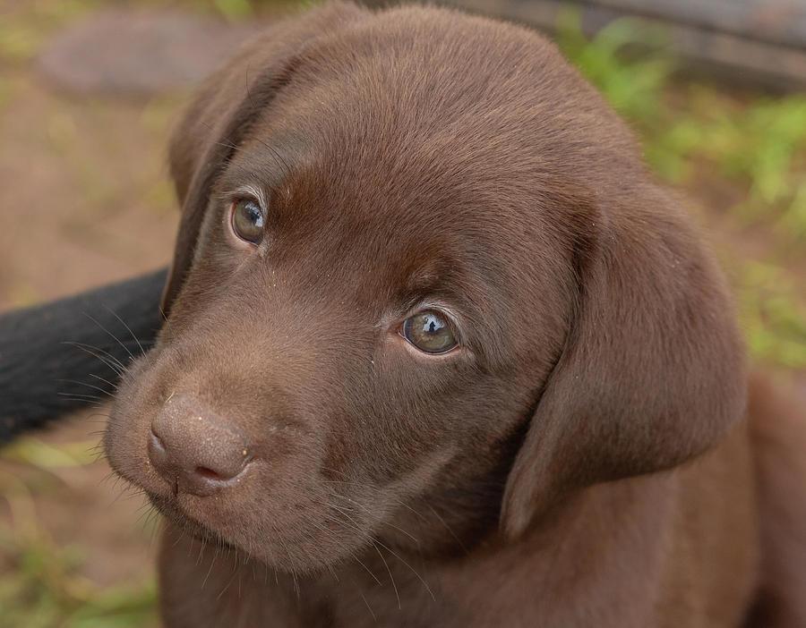 Adorable Photograph - Chocolate Labrador Retriever Puppy by Linda Arndt