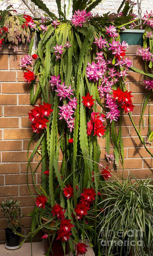 Christmas Cactus.Christmas Cactus