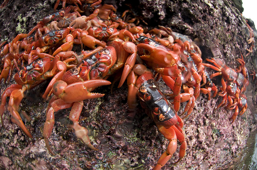 Christmas Island Red Crab Migation Photograph by Colin Marshall