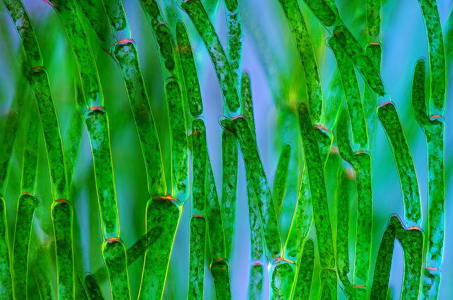 картинка улотриксовые водоросли значения столь разнообразны