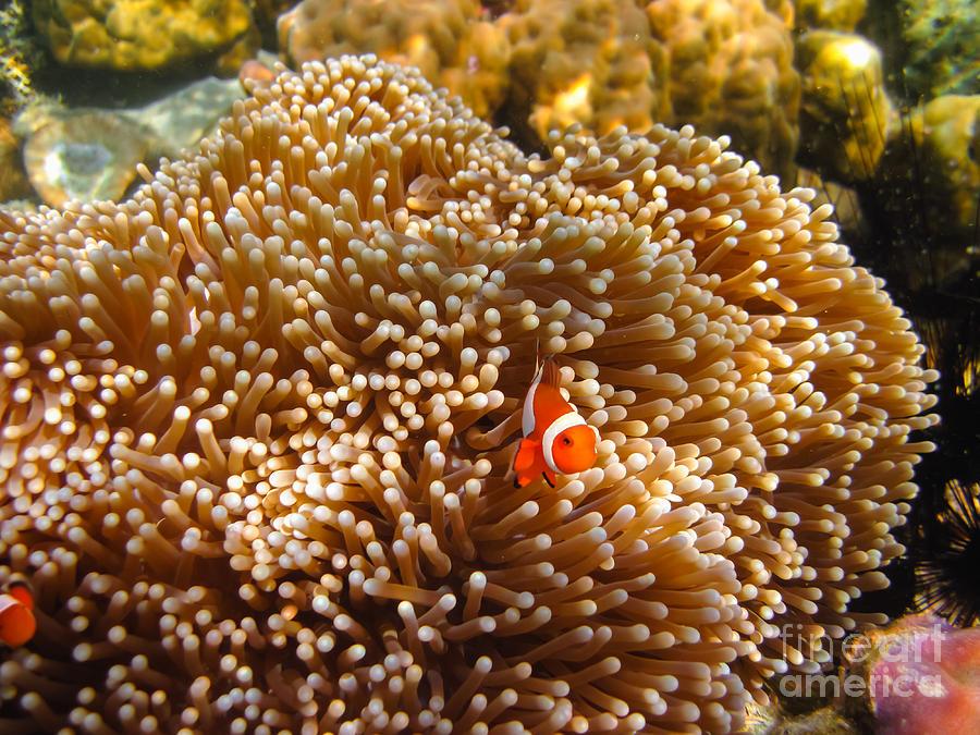 Adventure Photograph - Clownfish In Coral Garden by Fototrav Print