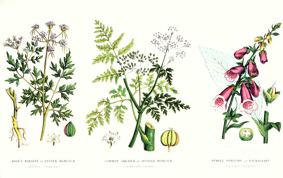 Botany; Botanical; Medicine; Medical; Plant; Flower; Flowers; Toxic Painting - Common Poisonous Plants by English School