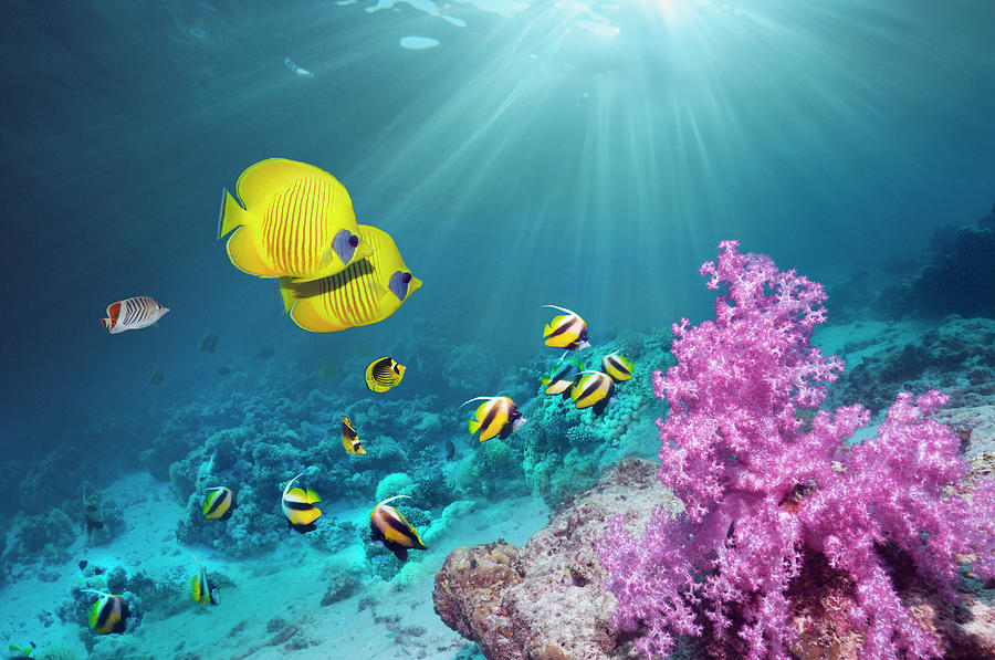 Coral Reef With Butterflyfish Photograph by Georgette Douwma