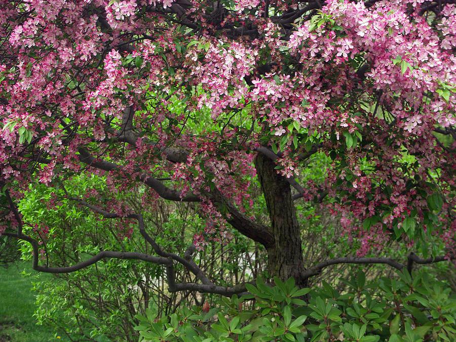 Crab Apple Tree Photograph By Bonnie Sue Rauch