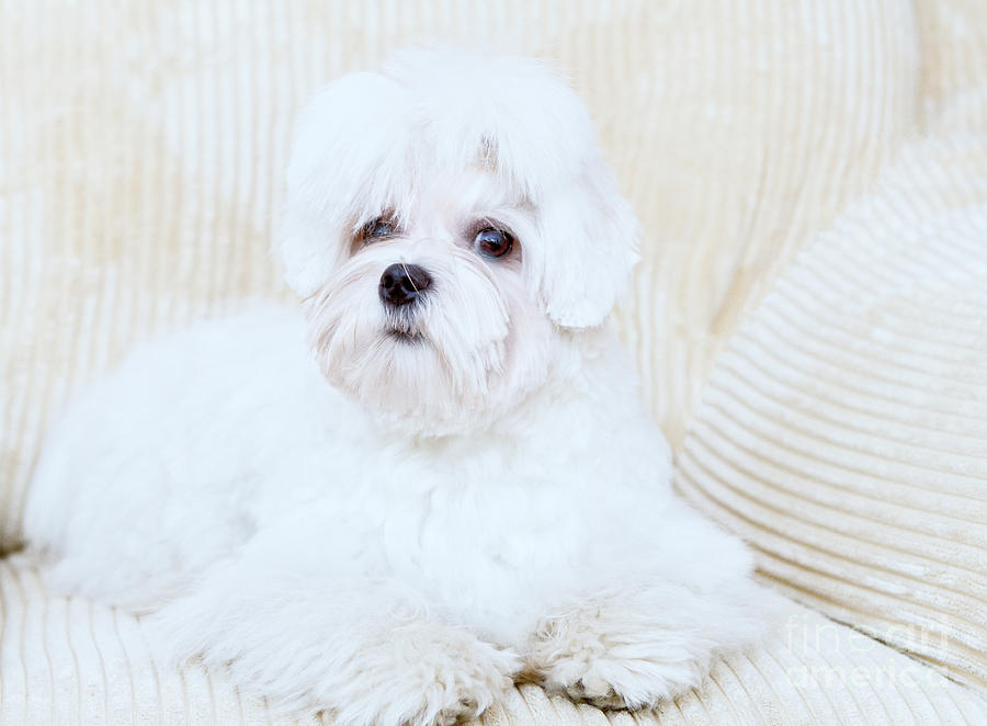 Maltese Photograph - Cute Maltese by Monika Wisniewska