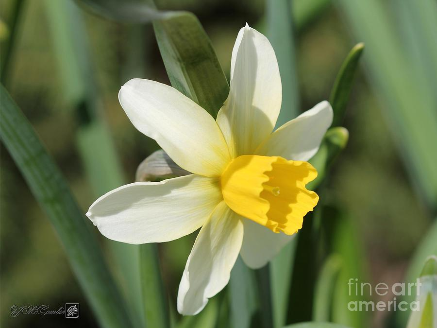Narcissus Photograph - Cyclamineus Daffodil Named Jack Snipe by J McCombie
