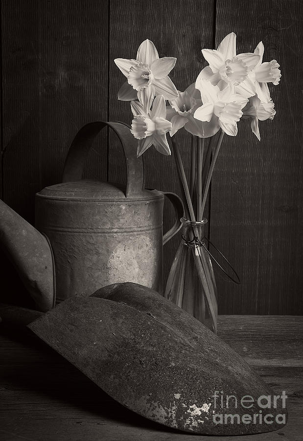 Daffodils Photograph - Daffodils by Edward Fielding