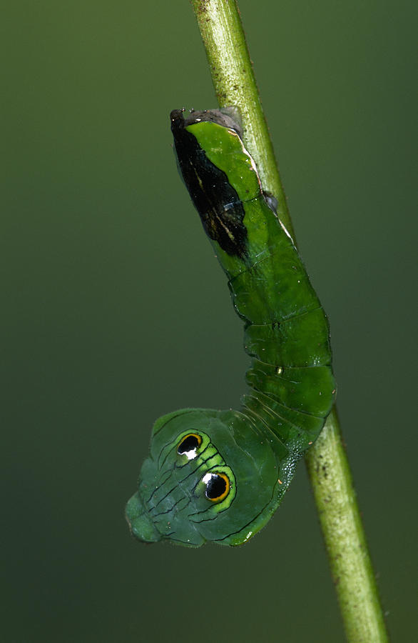 Dead-leaf Moth Caterpillar Eye Spots Photograph by Ingo Arndt