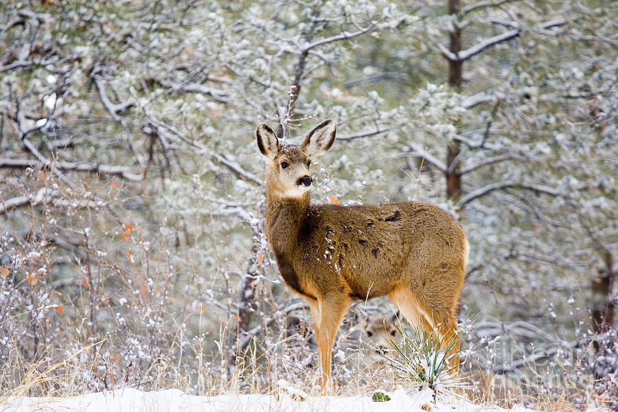 Deer In The Snowy Woods Photograph