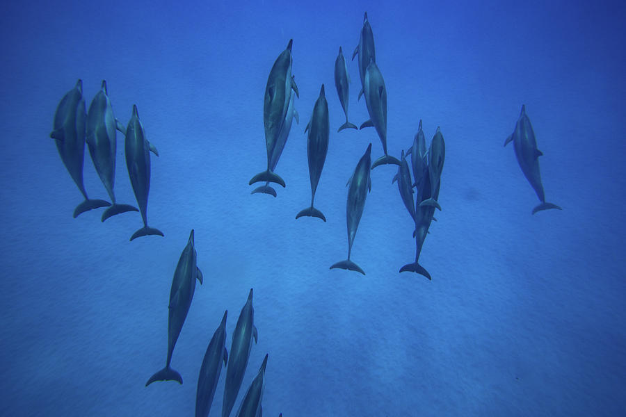 Horizontal Photograph - Dolphins Swimming In Pacific Ocean by Animal Images