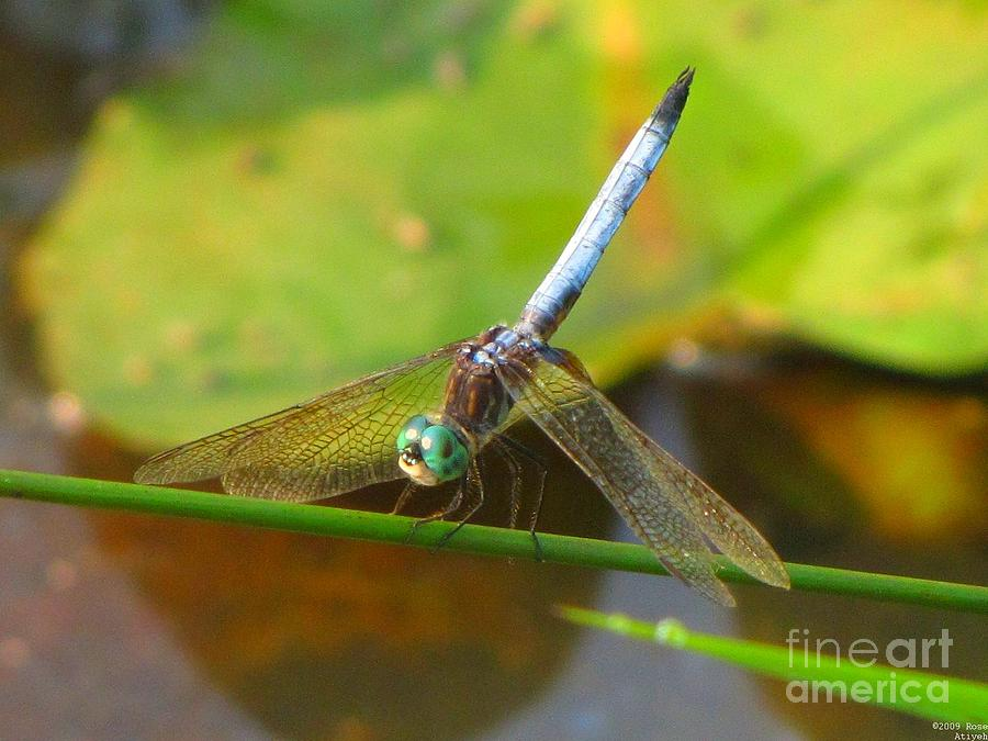 Dragonfly Photograph - Dragonfly by Rrrose Pix