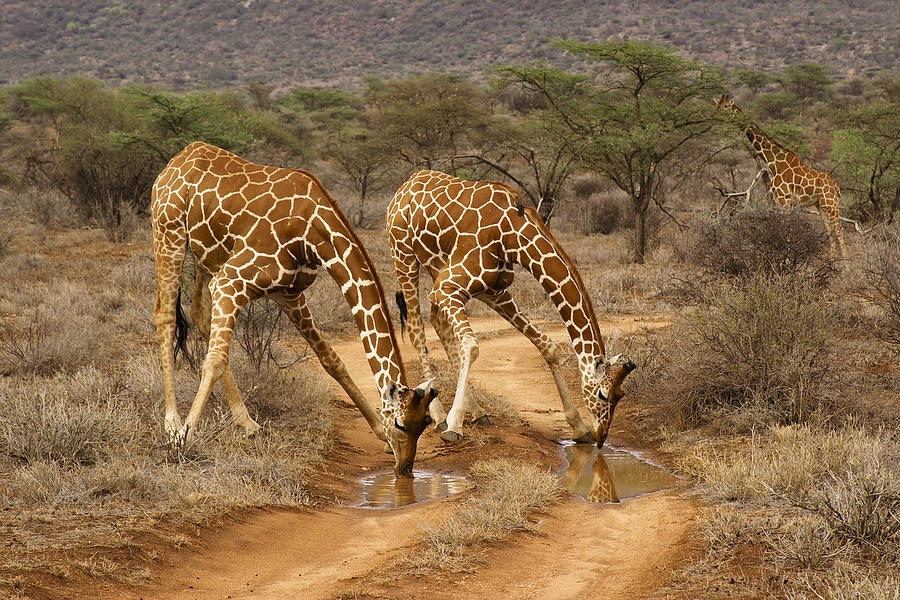 Africa Photograph - Drinking in Tandem by Michele Burgess