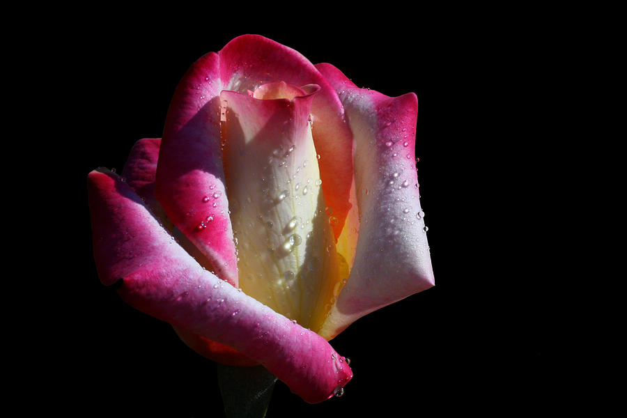 Rose Photograph - Elegance by Doug Norkum