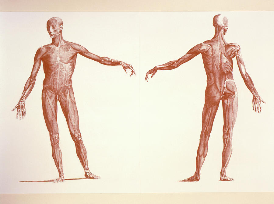 Skeletal Muscle System Photograph - Engraving Of Human Skeletal Muscles by Sheila Terry/science Photo Library