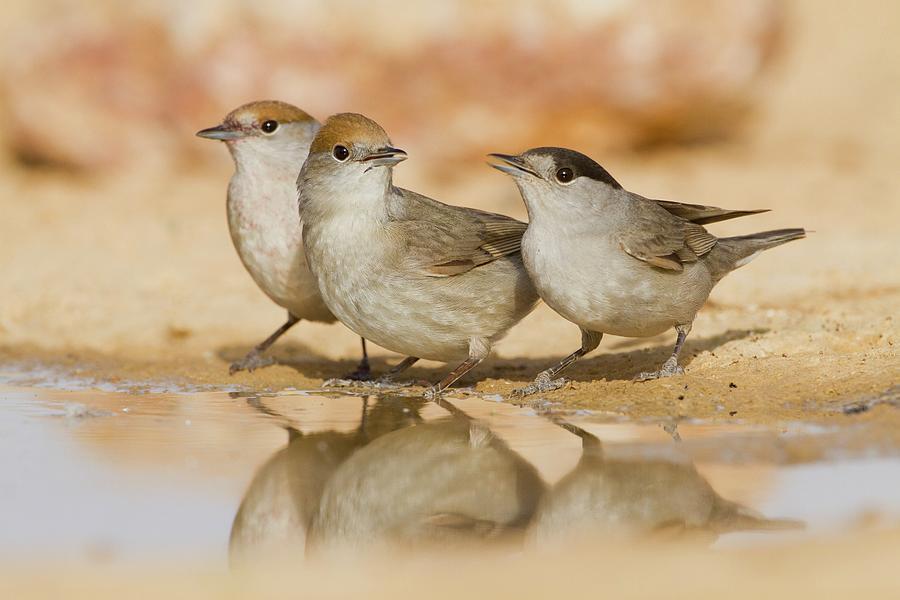 Birds Photograph - Eurasian Blackcap (sylvia Atricapilla) 2 by Photostock-israel