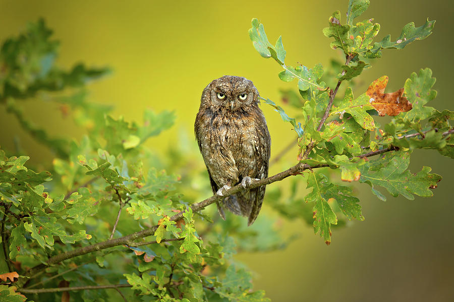 Owl Photograph - Eurasian Scops Owl by Milan Zygmunt