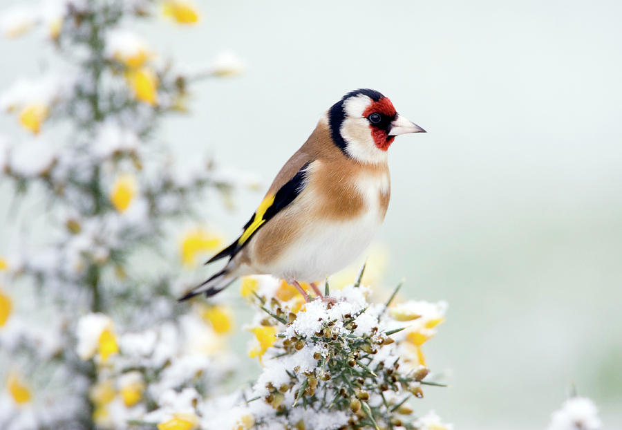 European Goldfinch Photograph - European Goldfinch by John Devries/science Photo Library