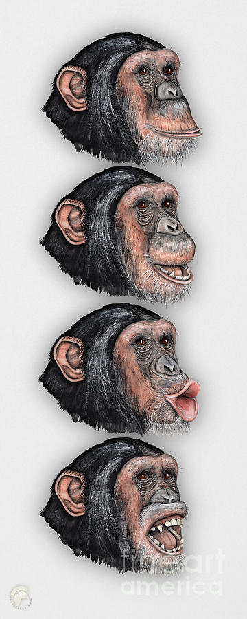 Facial Expressions Of Chimpanzees Pan Troglodytes - Zoo - Mimik Schimpansen - Stock Illustration Painting