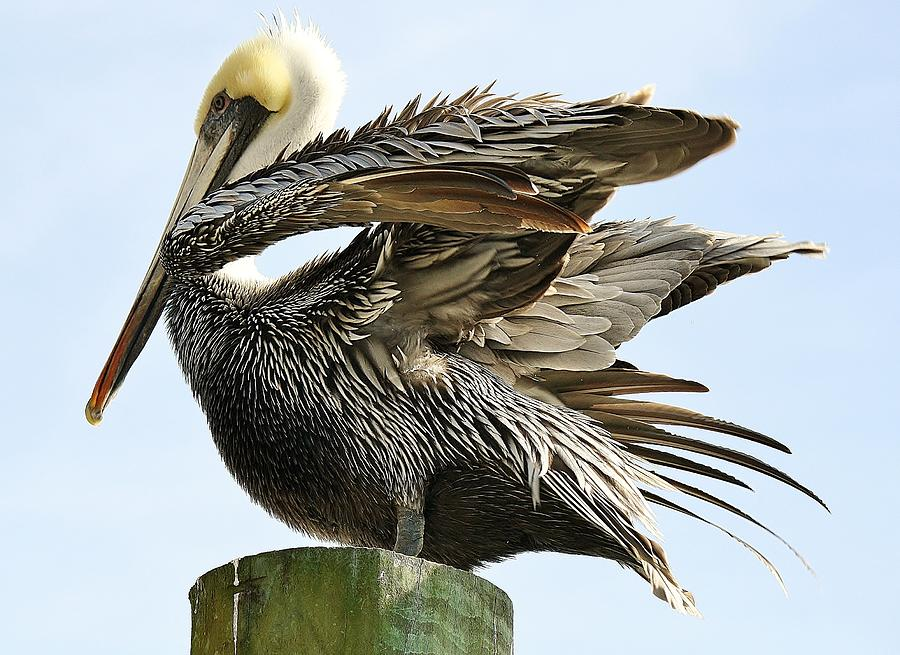 Pelican Photograph - Feathers by Paulette Thomas