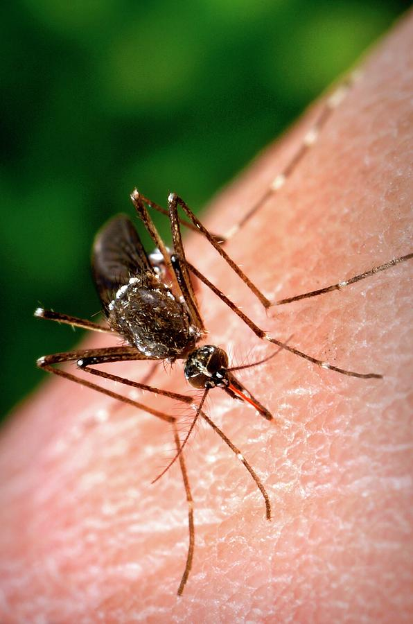 Aedes Aegypti Photograph - Feeding Mosquito by Cdc/science Photo Library