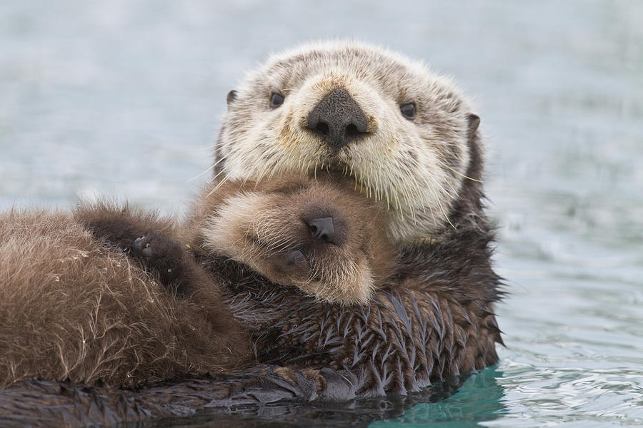Day Photograph - Female Sea Otter Holding Newborn Pup by Milo Burcham