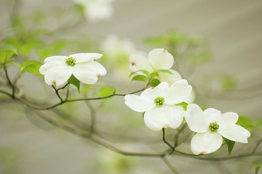 Flowering Dogwood Photograph - Flowering Dogwood (cornus Florida) by Maria Mosolova/science Photo Library