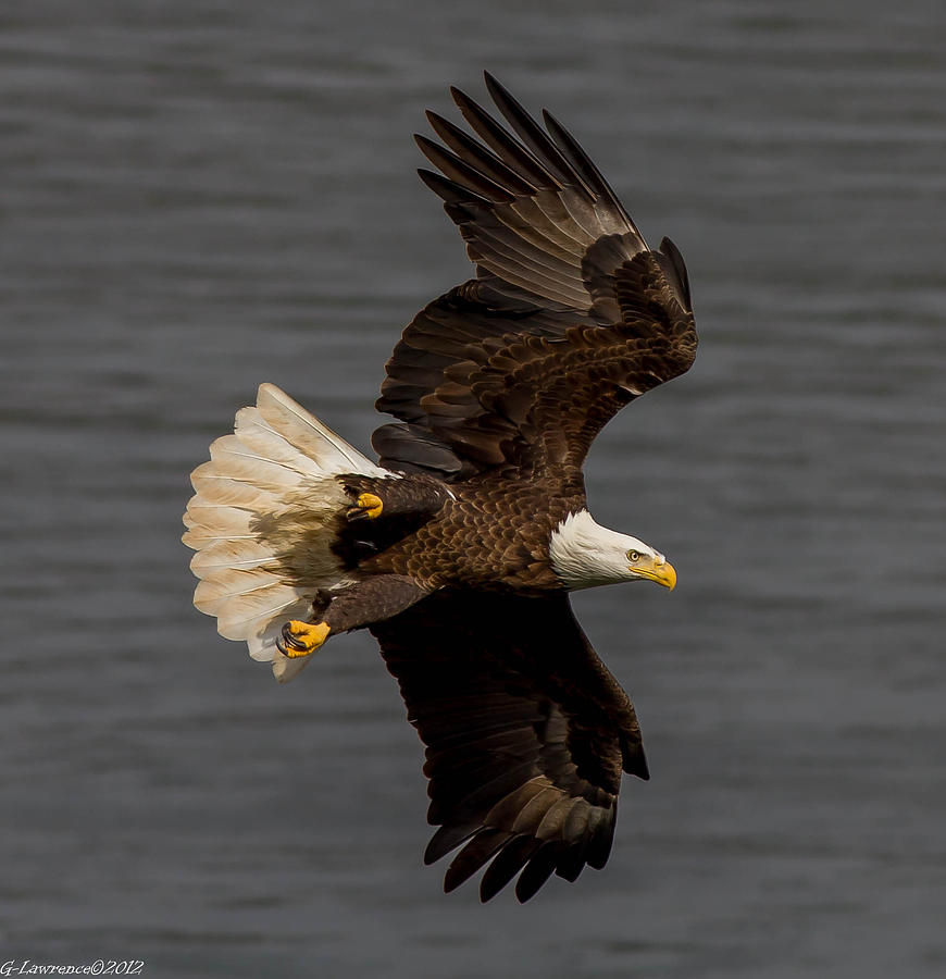 American Bald Eagles Photograph - Fly By  by Glenn Lawrence