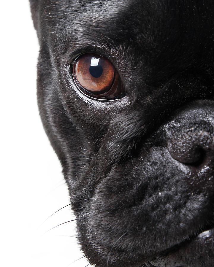 French Bulldog Photograph by Retales Botijero