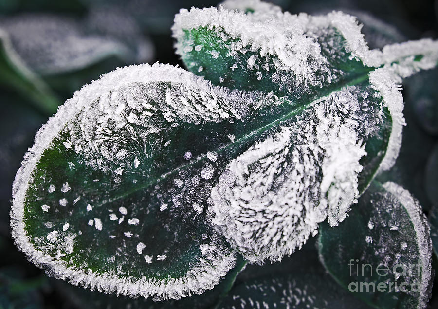 Icy Photograph - Frosty Leaf by Elena Elisseeva