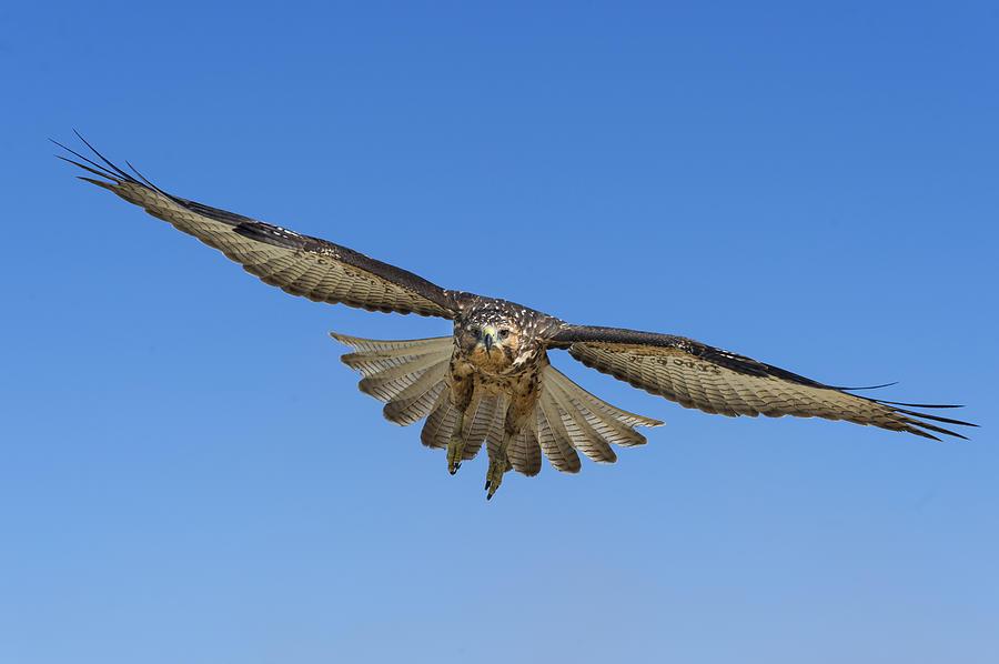 Galapagos Hawk Flying Alcedo Volcano Photograph by Tui De Roy