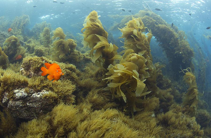 Garibaldi In Giant Kelp Forest Catalina Photograph by Richard Herrmann