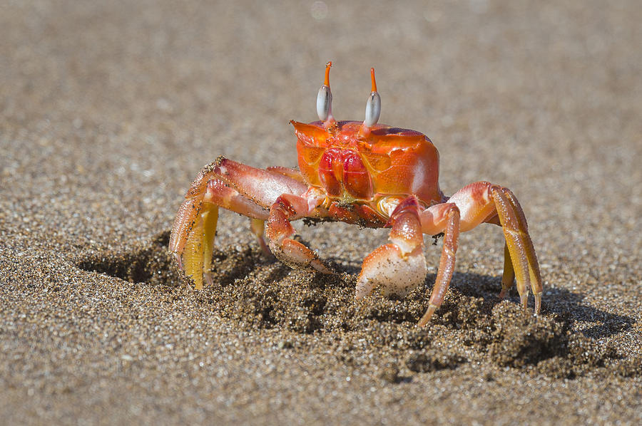 Ghost Crab Wildlife Beach Sea Large Poster Art Print in multiple sizes